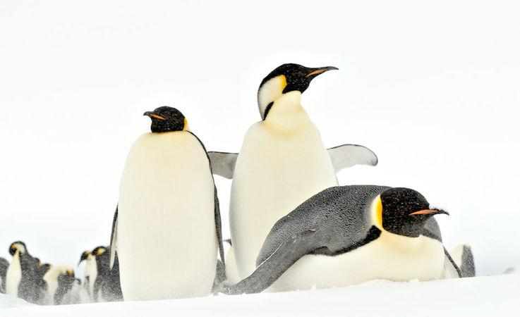 Die grösste Pinguinart, Kaiserpinguine, brüten auf dem Festeis rund um den antarktischen